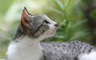 Перхоть у кошки на спине лечение