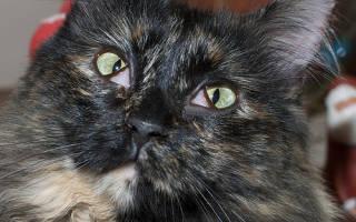 Инфекционные болезни глаз у кошек