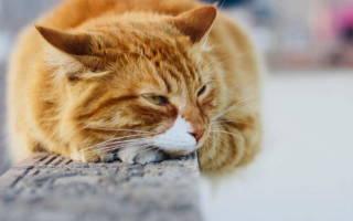 Бронхит у котов лечение