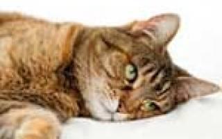 В мочевом у кота лечение