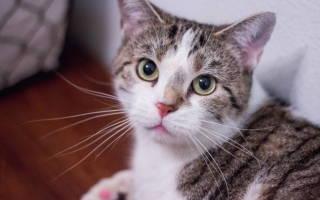 Кот кашляет причины и лечение