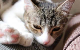 Признаки и лечение заболевания чумка у кошки