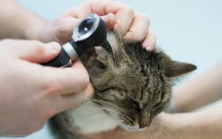 Гнойный отит у кота лечение