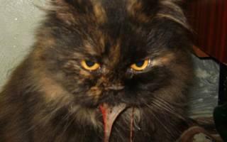 Вирусный гепатит у кошек лечение