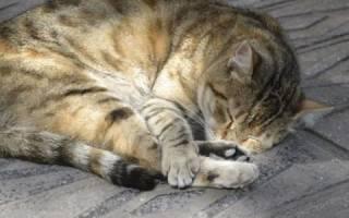 Лечение некроза у кошек