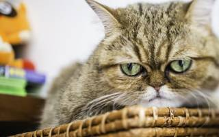 Перелом бедра у кошки лечение без операции
