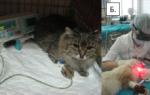 Аутоиммунный гингивит у кошек лечение