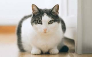 Гепатит у кота лечение