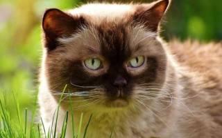 Гемобартонеллез у кошек симптомы и лечение