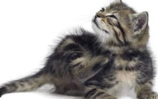 Власоед кошка лечение признаки