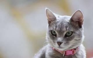 Лимфаденит у кошек лечение