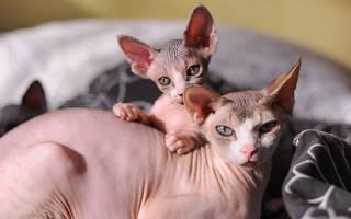 Уход за сфинксами кошками