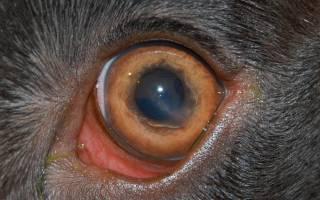 Травма роговицы у кошки лечение