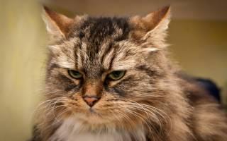 Колтуны у кошек лечение