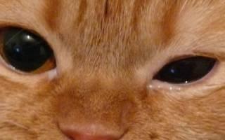 Ячмень у кота как лечить