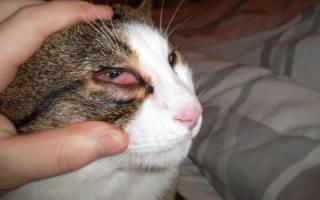 Кровоизлияние в глаз у кота лечение
