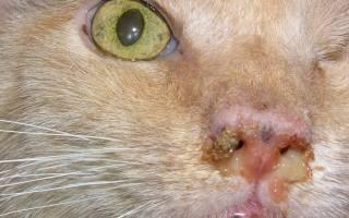 Герпес у кошек лечение