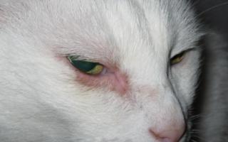 Красные глаза у кошки причины и лечение