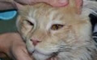 Хламидиоз глаз у кошек лечение