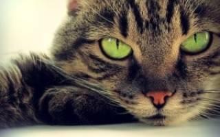 Анемия у кошки симптомы лечение