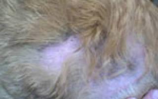 Власоед у котов симптомы и лечение