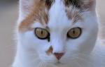 Чем лечить язвы на языке у кошки