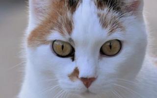 Чем лечить у кошек язык
