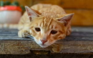 Вик кошек лечение