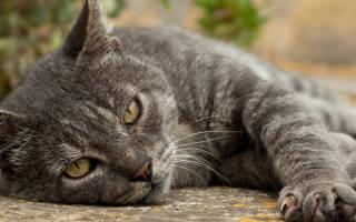 Инфекционные болезни кошек симптомы