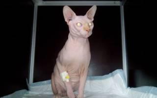 Хроническая сердечная недостаточность у кошек лечение