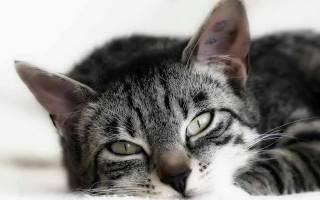 Гемобартенелез у кошек симптомы и лечение