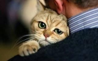 Как лечить у котов увеличение печени