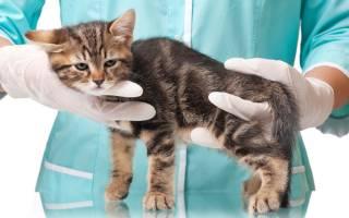 Воспаление почек у кота лечение