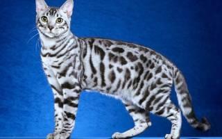 Уход за шерстью бенгальской кошки
