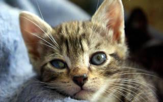 Кератит у кошки симптомы и лечение