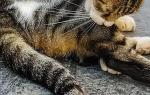 Гиперестезия у кошек лечение