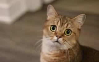 Лейкоз у кота симптомы и лечение