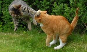 Чем лечить глаз коту после драки