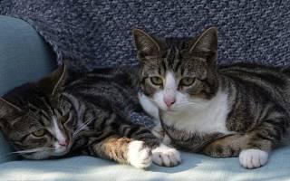 Причины мочекаменной болезни у котов британцев