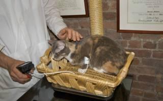 Лечение гипертонии у кошек