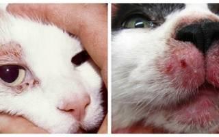 Как лечить демодекоз у кошек