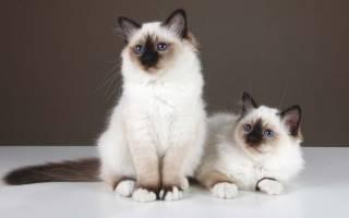 Породы кошек неприхотливых в уходе