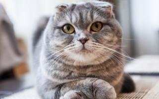 Шотландская вислоухая кошка характер уход