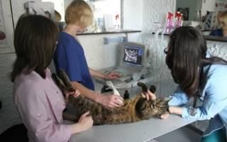 Гепатоз печени у кошек лечение