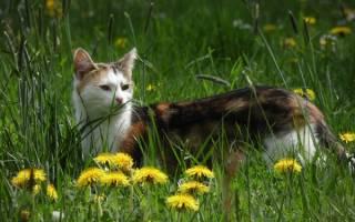 Клещи у кошек лечение