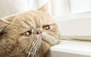 Чума у кошек симптомы лечение
