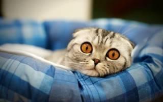 Вислоухие кошки уход и кормление