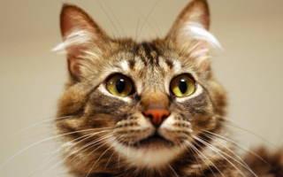 Лямблии у кошек симптомы и лечение