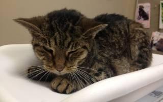 Поликистоз почек у кошек симптомы и лечение