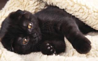 Болезни кошек британской породы